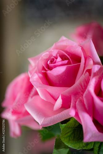 vertical close up of blooming pink rose Suitable for valentines day.