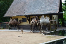 Side View Of Two Humped Camel ...