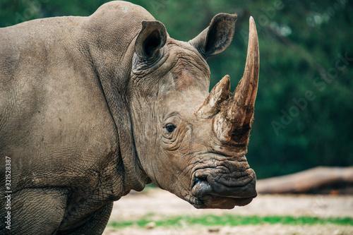 Rhinocéros adulte seul avec une grande et grosse corne de défense Wallpaper Mural