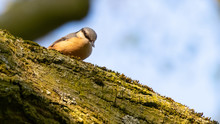A Nuthatch Peering Inquisitive...