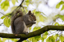 A Fluffy Grey Squirrel Sat In A Tree Carefully Eating A Nut
