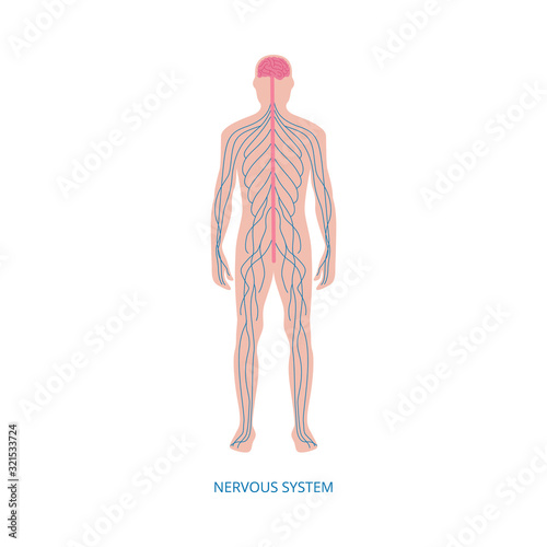 Fototapeta Nervous system - cartoon diagram of male human body with blue nerve lines obraz