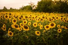Sunflower Field At Summer Dusk