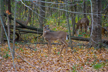Young Grazing Deer In The Fall