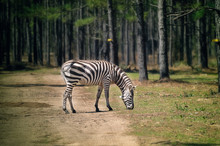 A Grazing Zebra