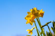 Beautiful Mini Yellow Daffodil...