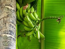 A Bunch Of Bananas Is Ripening...