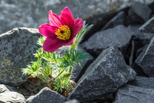 Flower Growing Out Of A Rock.