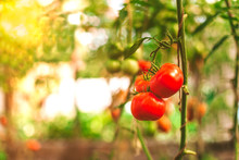 Fresh Red Tomatoes Grow On A Branch In The Garden.The Sun's Rays Help The Vegetables Ripen In The Greenhouse, They Are Ripe,they Will Be Removed From The Branch And Make A Salad, Vegetables Are Useful