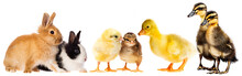 Spring Animals - Little Rabbits And Little Gosling And Chickens