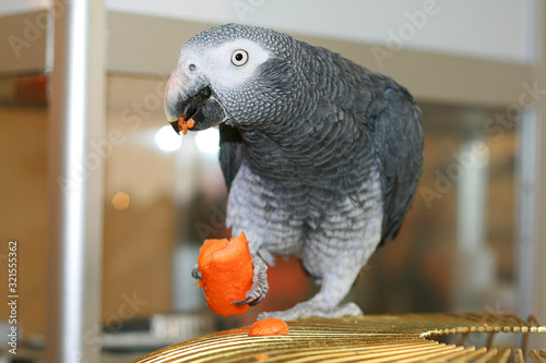 Fototapeta a parrot eats a carrot on a cage