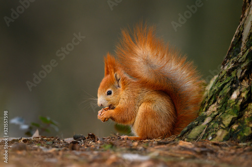 Fotomural Red squirrel eats the nut in the natural environment, beautiful bokeh, close up,