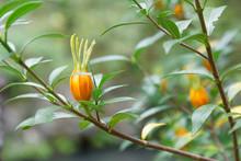 Closeup Of Orange Gardenia Flower And Green Leafs