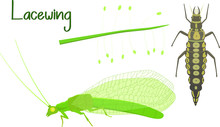 Life Cycle Of Lacewing (Chryso...