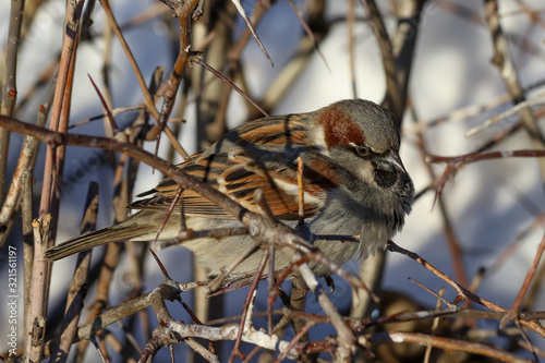 Fotografie, Obraz A dishevelled House Sparrow (Passer domesticus) perched on a branch