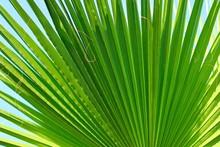 Large Green Palm Leaf. Natural...