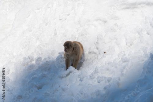 Photo A monkey walks on snowy mountain in Jigokudani Snow Monkey Park (JIgokudani-YaenKoen) at Nagano Japan on Feb