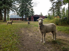 Sheep On A Ranch