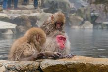 Japanese Snow Monkeys Relaxing...