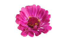 Bright Pink Zinnia Flower Isolated On White Background.