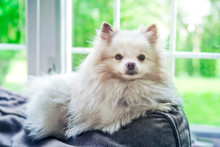A Fluffy White Pomeranian Dog Laying On The Back Of A Couch In Front Of A Window.