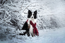 Border Collie Snow Walk With A...