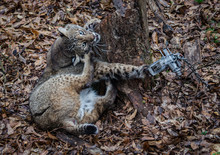 Bobcat Feline Caught By Trappe...