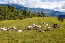 Cattle Farm In Costa Rica