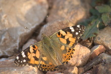 Close-up Of A Vanessa Cardui Butterfly Sunbathing
