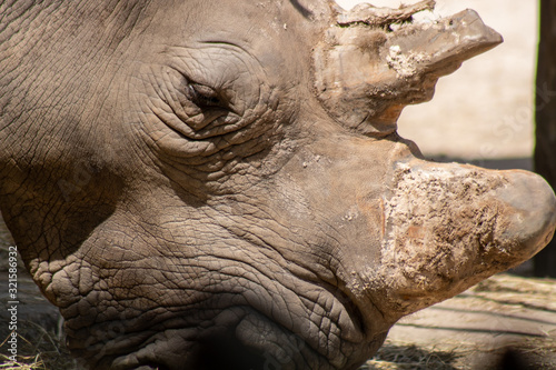 Southern white rhino Tapéta, Fotótapéta
