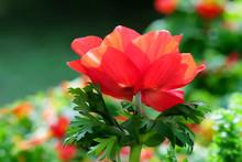Spring Blooming Anemones (Anemone Coronaria)