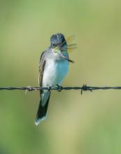 Eastern Kingbird Eating A Drag...