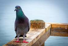 Pigeon On The Pier