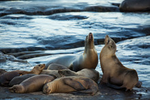 Group Of Cute Cuddling Sea Lions On The Beach By The Water Of La Jolla Cove, San Diego, California