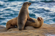 Pair Of Two Cuddling Sea Lions...