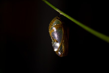 Macro Close-up Of Chrysalis Cocoon Of Common Crow Butterfly On Vine At Night