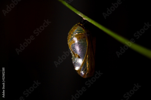Leinwand Poster Macro close-up of chrysalis cocoon of common crow butterfly on vine at night