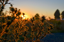 Close Up Of Rustic Thorn Bushes At Sunset, Selective Focus.