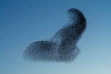 Beautiful Large Flock Of Starl...