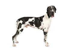 Thoroughbred Great Dane Dog Is...