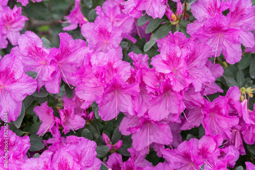 royal azalea blossom, violet, radiant color. Flowering purple azaleas in the winter garden. Horizontal closeup image of Rhododendron. Season of flowering azaleas