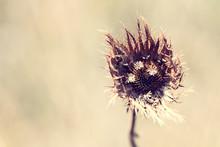 Macro Of Brown Wild Flower See...