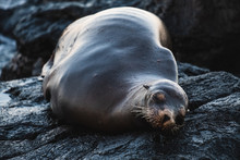 Fat Sea Lion Lying On Black Volcano Rock