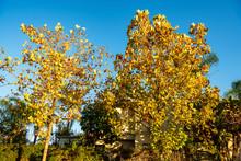 A Plane Tree (Platanus) With Autumn Foliage Against A Blue Sky.