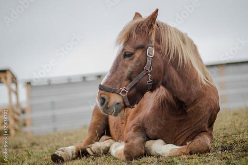 Vászonkép portrait of old gelding horse in halter laying on ground in paddock
