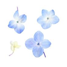Set Of Small Blue Hydrangea Fl...