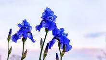 Iris Flowers With Blue Petals ...