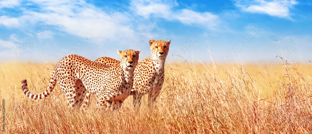 Fototapeta Cheetah in the African savannah. Africa, Tanzania, Serengeti National Park. Banner design. Wild life of Africa.