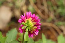 Back Side Of A Pink Dalia Flower