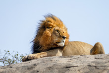 Portrait Of A Lion Resting On ...